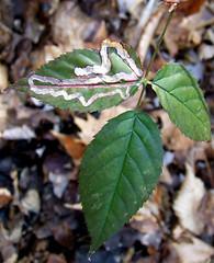 blackberry leaf 2