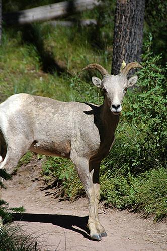 Waterton Lake - Sheep on the move