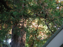 Redwoods over my house