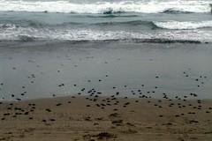 tortugas al mar