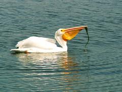 pelican on lake merritt