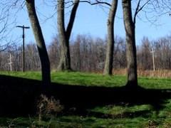 black walnut trees