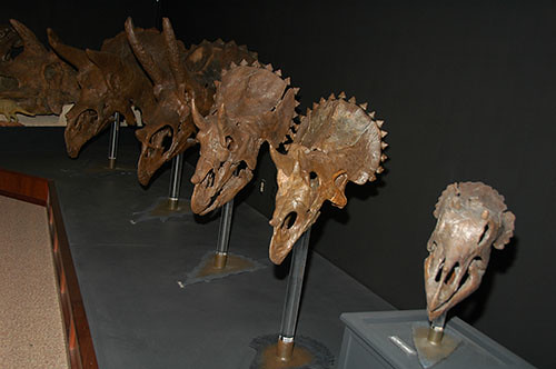 Museum of the Rockies - Triceratops Growth Series