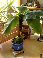 bananier octobre 06