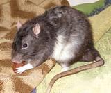 George the rat