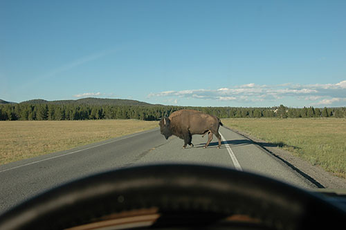 Yellowstone - Bison on Road