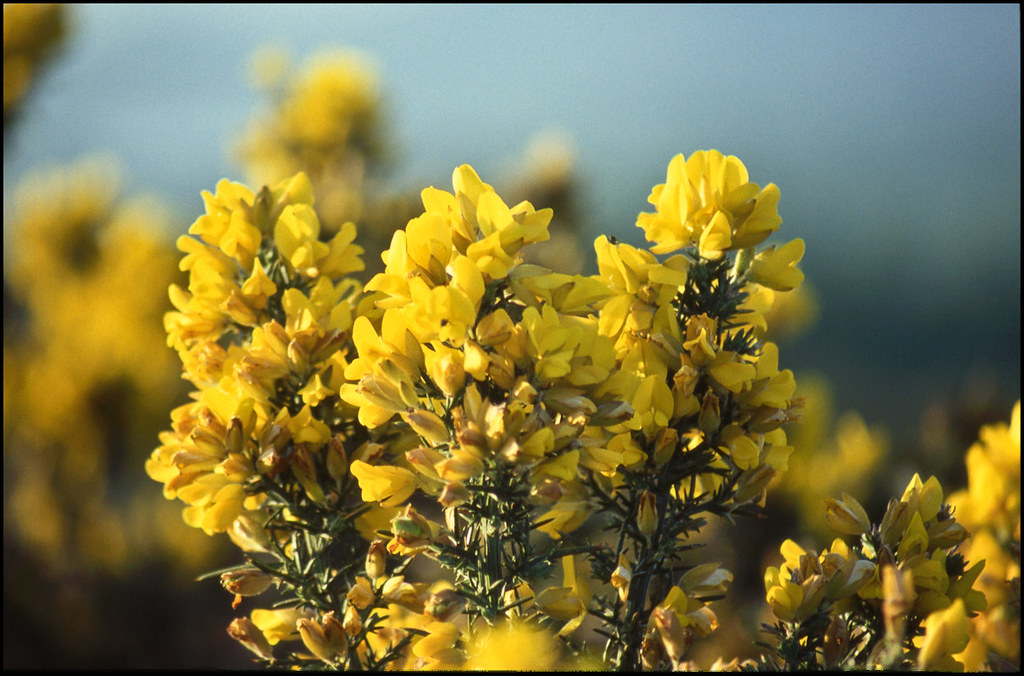 Welsh mountain gorse