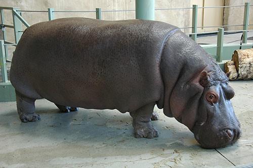 Hippo Outside