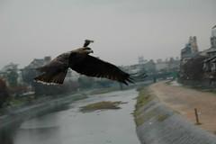 Birds of prey in Kyoto 3