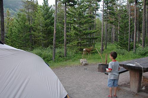 Waterton Lake - White Tail Deer in Camp