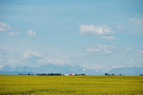 Alberta - Mustard Fields