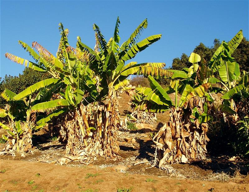 Bananas in sunlight_19Dec06.JPG