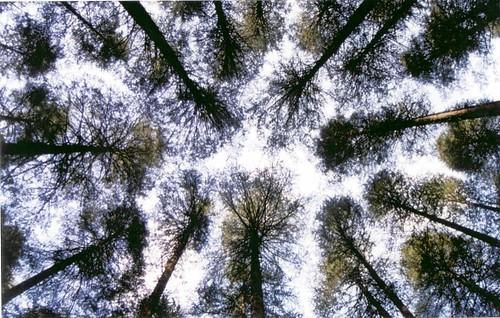 Tree Tops in Manali