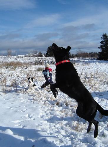 Leapin' Labradors!