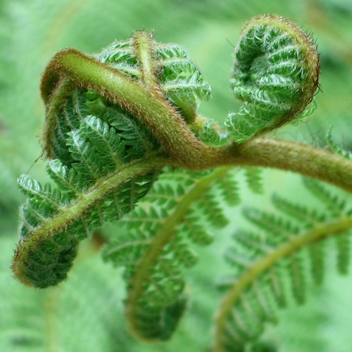Ferntangle
