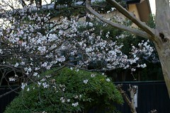 Winter Japanese Cherry