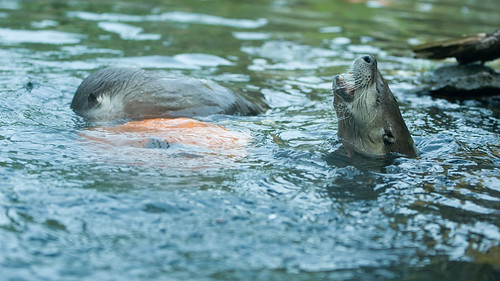 Otters and Pumpkin