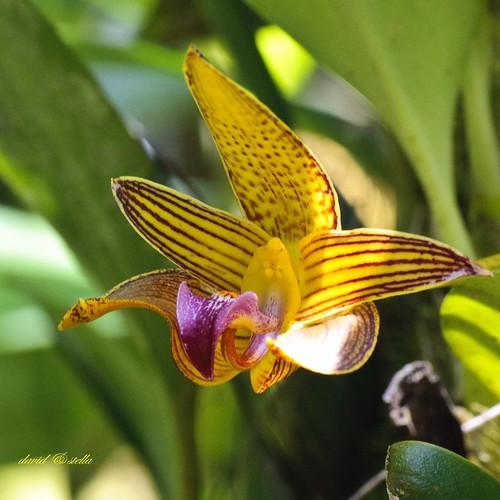 Bulbophyllum claptonense
