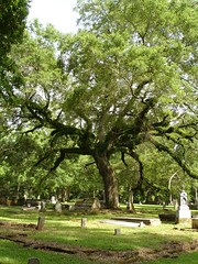 Oak Tree w. Ressurection Ferns in Greensboro Cemetery, Greensboro AL
