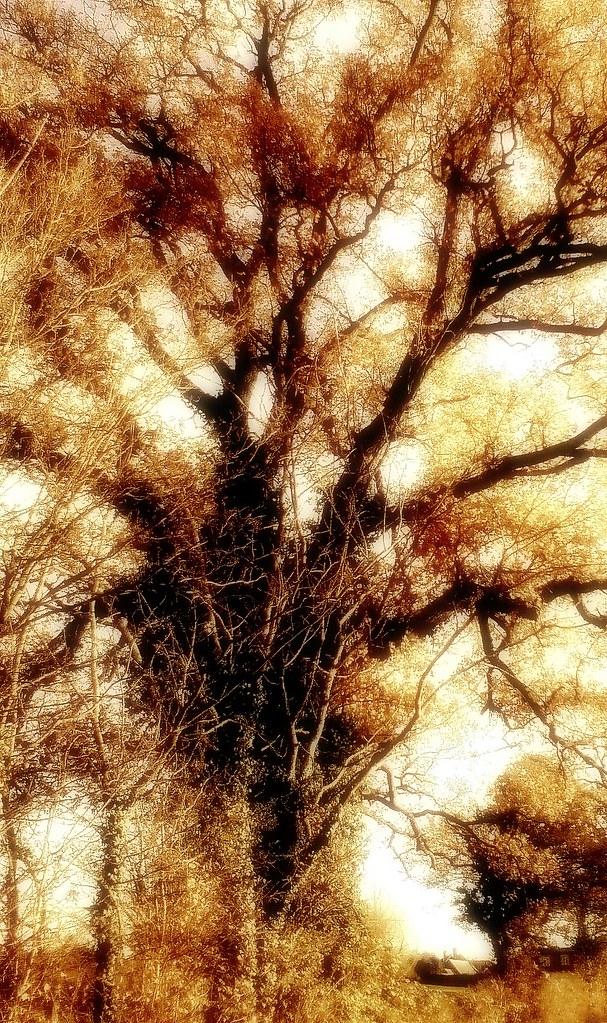 Shinfield oak