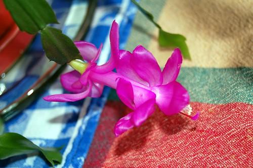 Xmas cactus (by jeninmaine)