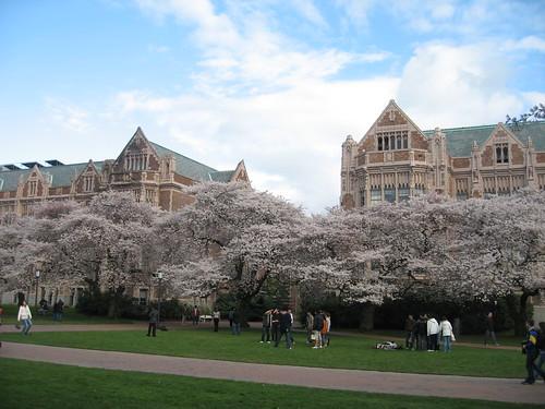 UW and the cherry trees