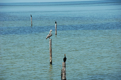 Champoton - 03 - Pelicans and Cormorants