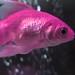 ~Pink Fish~