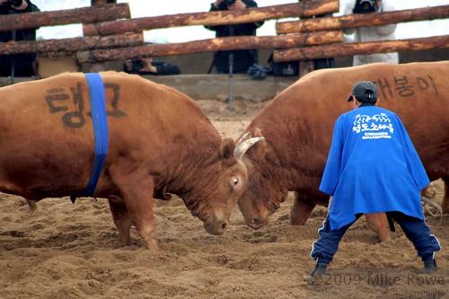 Korean Bull Fighting