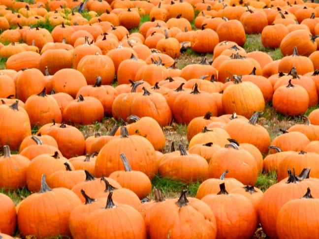 Pumpkin patch in Maine