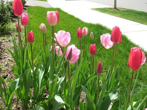 Tulips @ my garden