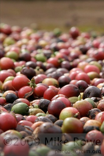 Coffee cherries, Lao style