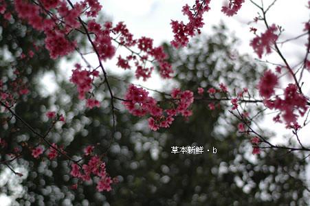 新竹園區內之櫻花