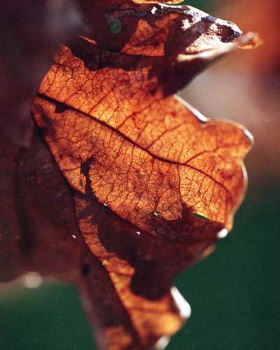 Oak leaf and sun
