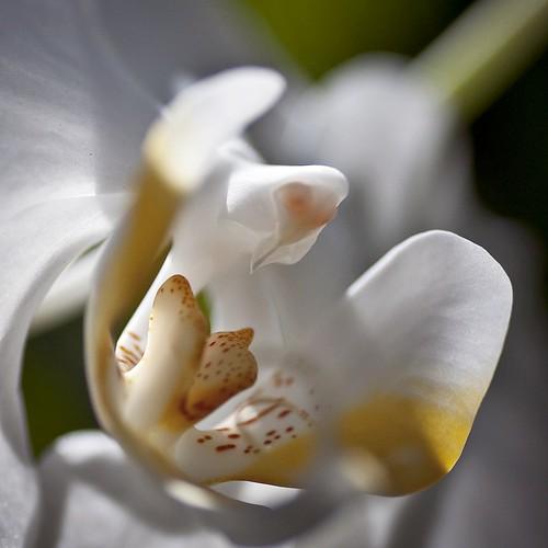phalaenopsis amabilis {the lovely phalaenopsis or the moon orchid}