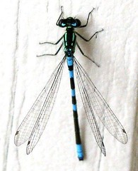 Alaska bluet, midnight visitor