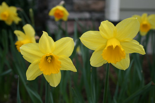 Daffodils in my garden