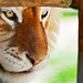 Framed golden tiger