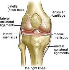 Seif_knee anatomy01