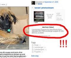 puppy ad