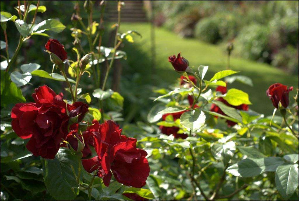 Hidcote Manor Garden roses