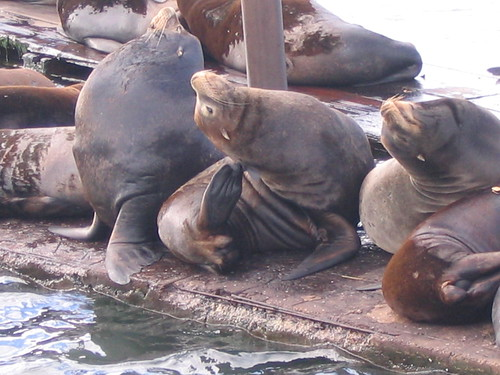 Seals in Astoria, Oregon