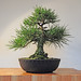 Japanese Black Pine Bonsai Tree (Pinus thunbergii)