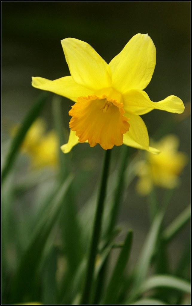 Eastleach daffodil