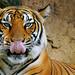 Tiger / Harimau