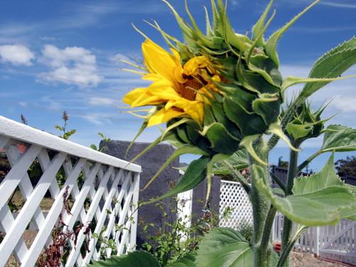 firstsunflower