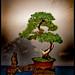 Bonsai_-P9270019 Bonsai Tree Backlit
