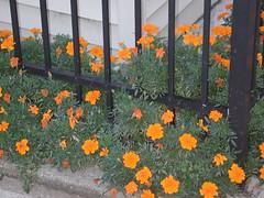 Fenceline Marigolds