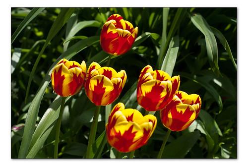6 tulips 2