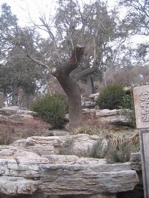 祟幀皇帝就在這樹上吊的